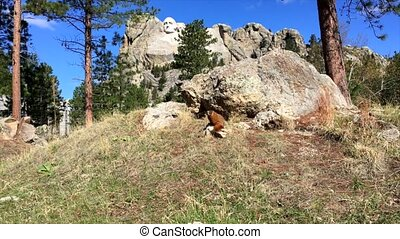 Mt Rushmore Marmot - Wild Marmot sitting near Mt Rushmore...