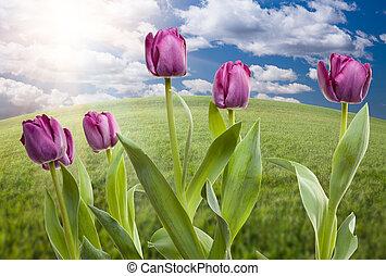 紫色, 鬱金香, 在上方, 草, 領域, 天空