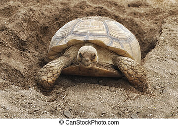A Turtle Digging Her Nest - A Turtle Digging Her New Nest
