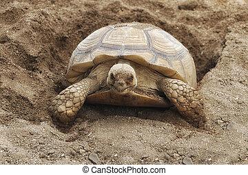 A Turtle Digging Her Nest - A Turtle Digging Her New Nest