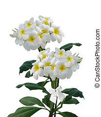 Frangipani flowers isolated - Beautiful Frangipani, Plumeria...