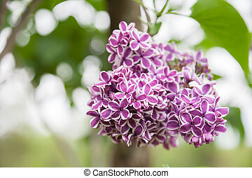 Lilacs - Variegated lilacs in full bloom in the spring