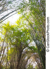 Stand of bamboo trees