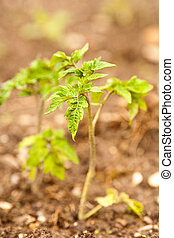 Tomato seedling - Close up of tomato seedling, shallow depth...