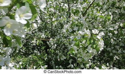 Beautiful apple tree with white flowers.