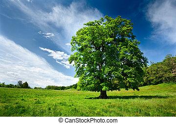 Single oak tree - Single big oak tree in a meadow near the...