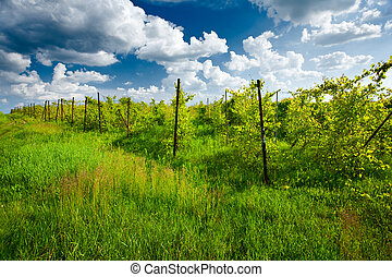 Vineyard and cloudy sky