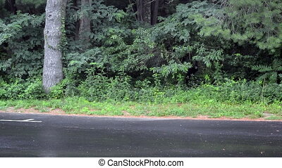 Shenandoah Bear - A black bear gnaws on trees along the road...