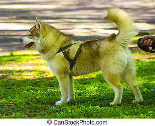 Siberian Laika. Husky dog pet favorite. Malamute. Young...