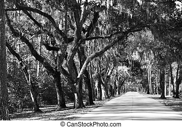 Drive at Palmetto Bluff - Tree lined road at Palmetto Bluff...