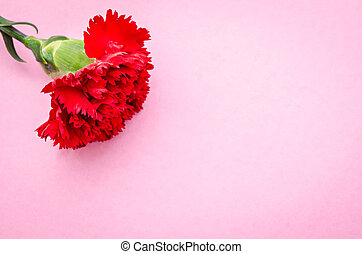 Red carnation flower on pink background - Red carnation...