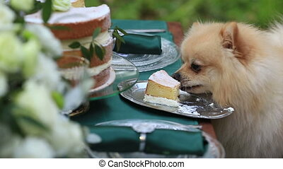 Little cute pekingese puppy eats a celebratory cake outdoor.