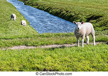 Lamb on a meadow - curious little lamb on green grass