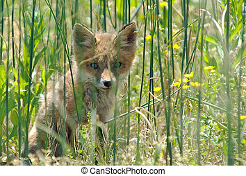 Red Fox Kit playing peek-a-boo.