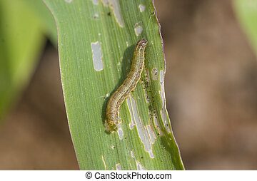 Fall armyworm Spodoptera frugiperda (Smith 1797) on the corn...