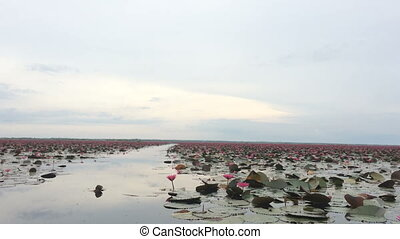 Tourist take boat visiting lake of red water lily, stock...