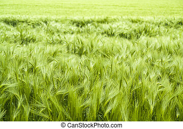 barley field detail