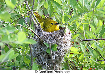 Yellow Warbler In A Nest - Yellow Warbler Dendroica petechia...