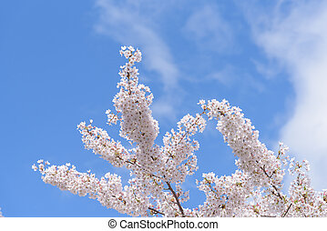 spring Cherry blossoms with blue sky