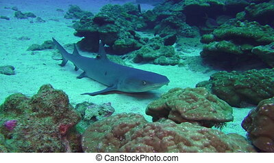 Whitetip Reef sharks on rocky reef search food - Whitetip...