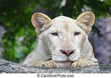 Young white lioness portrait in zoo close up - Young white...