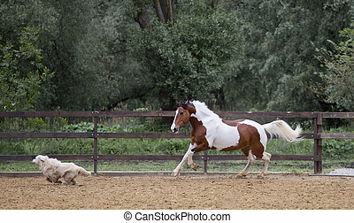 Piebald horse runs with the dog on the threes background