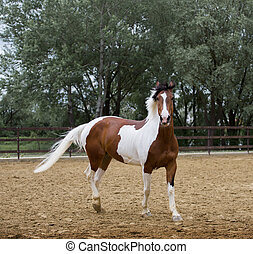 Piebald horse stays on the threes background