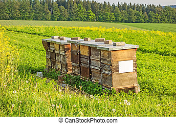 Apiary, rapeseed - Apiary in the field of rapeseed