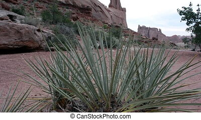 Yucca Man Hikes to Left - Yucca plant blows in the wind...
