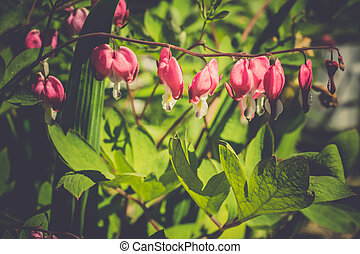 Bleeding Heart Flower - Pink bleeding heart flower, close up...