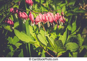 Bleeding Heart Flower - Pink bleeding heart flower, close up...