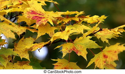 Foliage colors - Close up from tree seasonal colored
