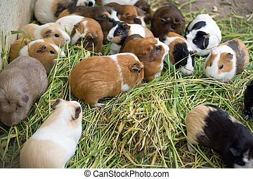 Guinea pig - Many different guinea pigs in grass, close up