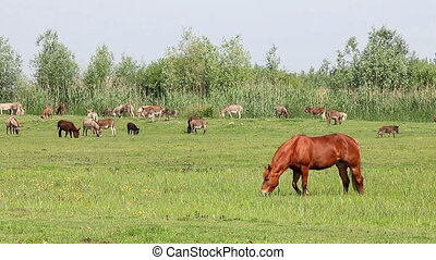brown stallion on pasture