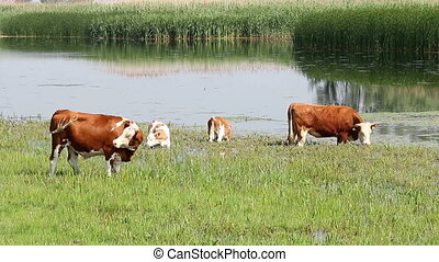 cows and calf grazing near river