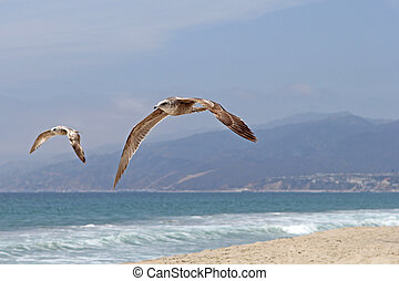 Two Seagulls at a Malibu California Beach.
