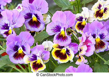 Blue and yellow pansy (viola) - Close-up of multicolored...