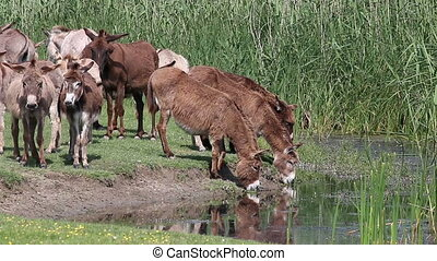donkeys drink water