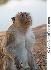 Monkey - Wild macaque in Siem Reap, Cambodia