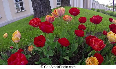 red terry tulips on a bed ,