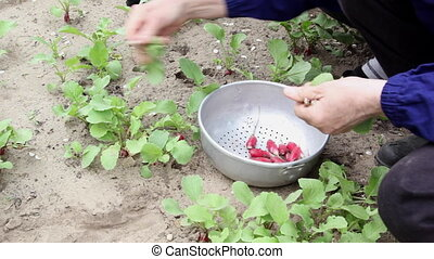 People harvest radish on the field