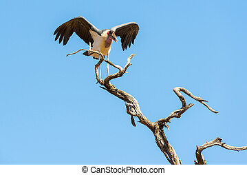Marabou Stork birds (Leptoptilos crumenifer) in flight...