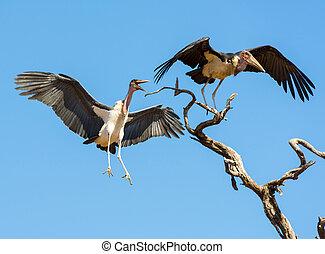 Marabou Stork birds (Leptoptilos crumenifer) in flight...