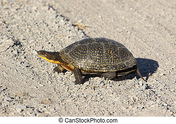 Blanding\'s Turtle - Why did the turtle cross the road?...