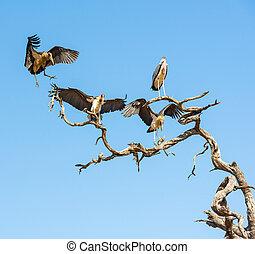 Marabou Stork birds Leptoptilos crumenifer in flight against...