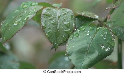 Rain Drops On Leaf Rose Highlights - Beautiful Nature...