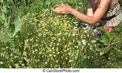 herbalist girl picking chamomile herb flower blooms to...