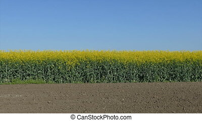 Rapeseed plants in field, panning - Oil rape, canola plants...