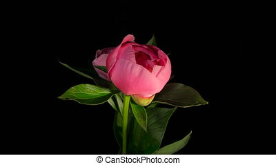 Two Red Peony Flowering Timelapse 4k - Isolated Flower...