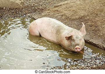Pig lies in a puddle - Pig lies in puddle, top view
